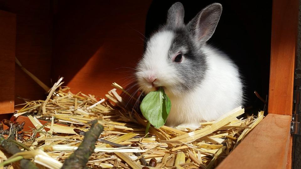Coniglio da compagnia